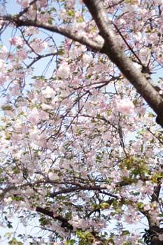 散歩写真:桜