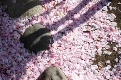 桜の花びら絨毯
