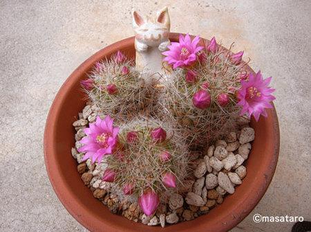 サボテンの花が咲き始めた★