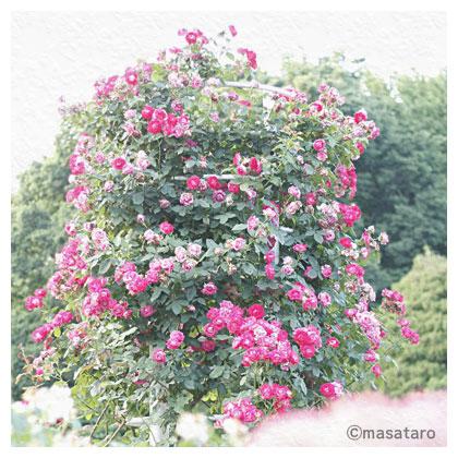 お散歩写真〜代々木公園の薔薇