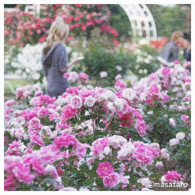 お散歩写真〜薔薇と