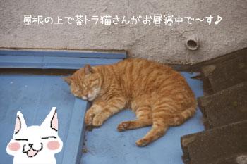 茶トラ猫のお昼寝