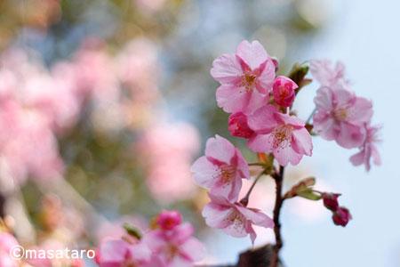 2011年初桜