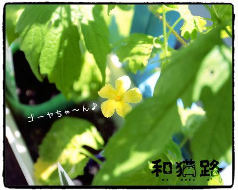 和猫路 ゴーヤの花